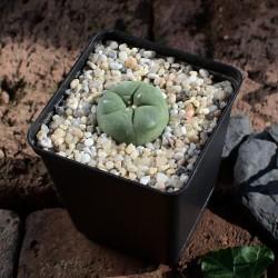 Lophophora Diffusa...