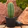 Trichocereus peruvianus ab 10cm