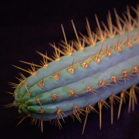 Trichocereus cuzcoensis