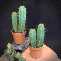 Trichocereus bridgesii 4...