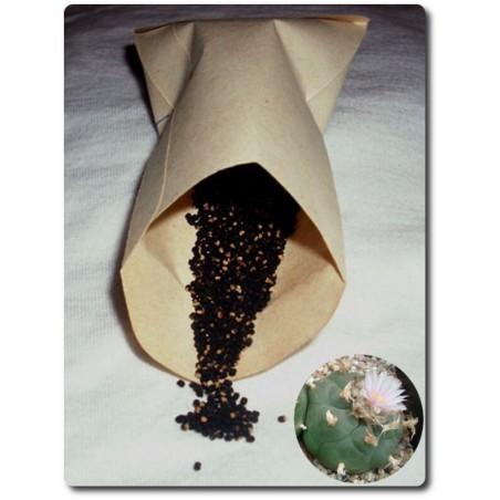 Lophophora williamsii koehresii, ab 10 Korn
