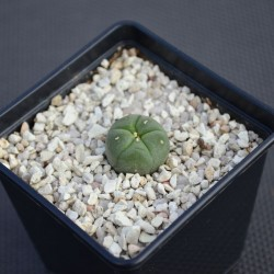 Lophophora williamsii peyote, Ø ab 2 cm