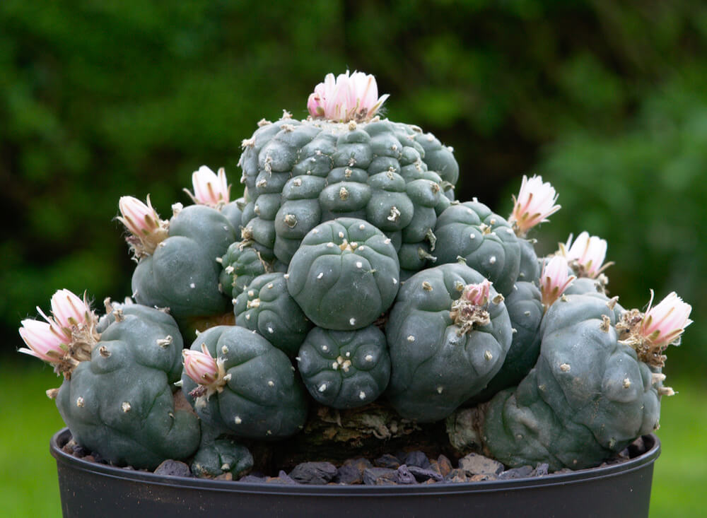 Lophophora williamsii Peyote-Kaktus