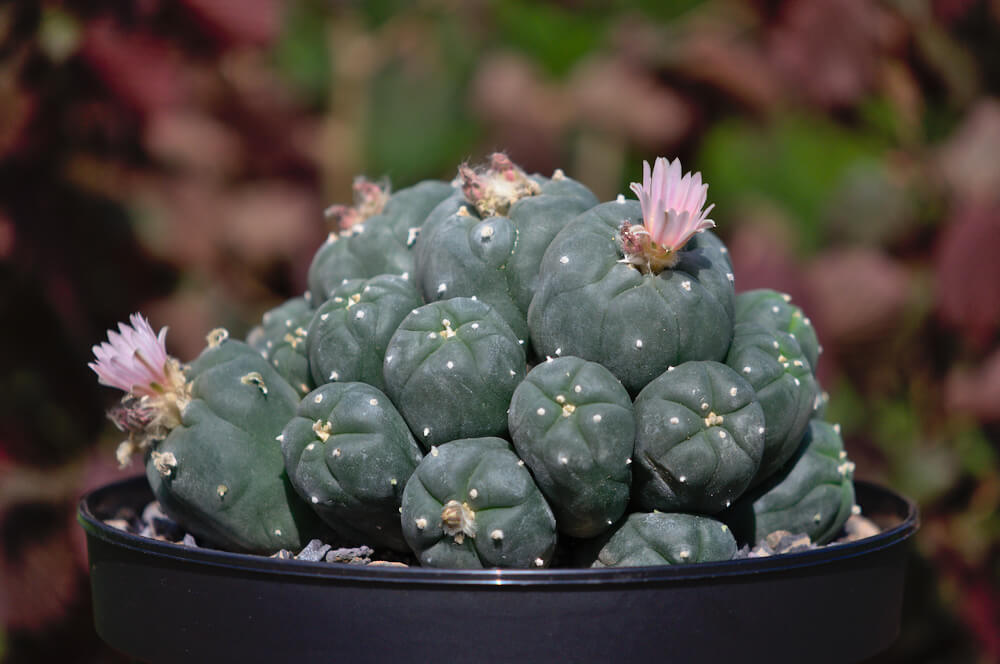 Lophophora williamsii, alte Pflanze