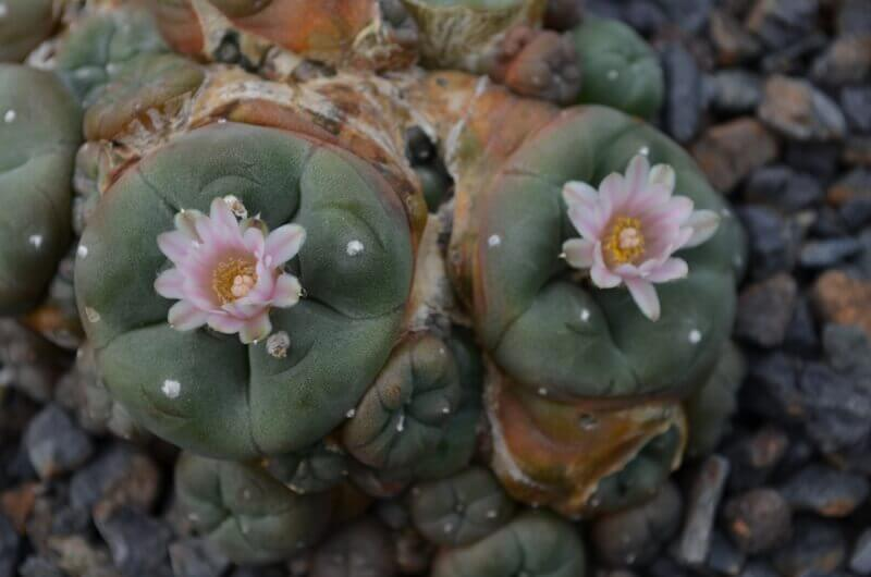 Lophophora williamsii caespitosa