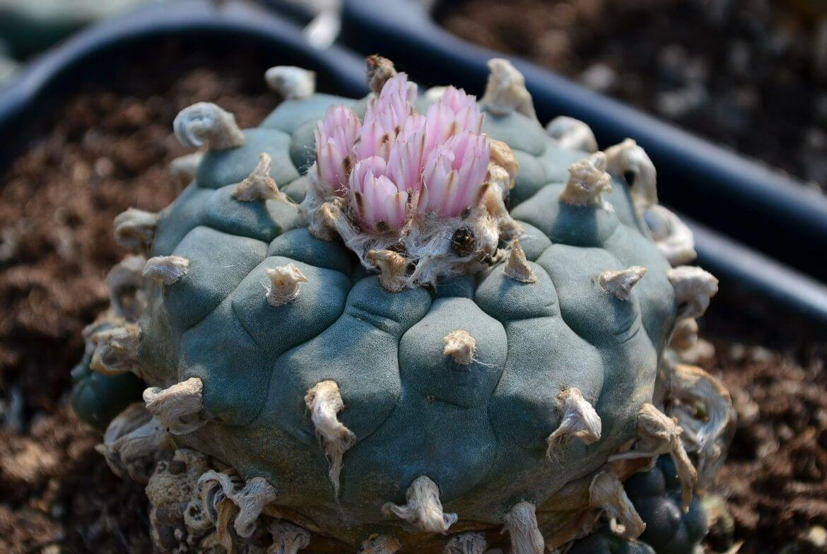 Lophophora williamsii peyote Mutterpflanze