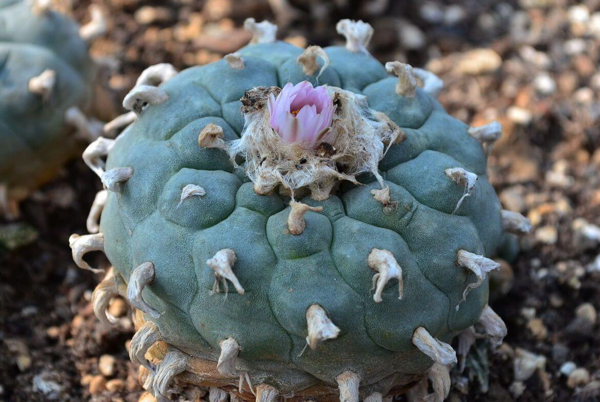 Lophophora williamsii peyote - alte Pflanze