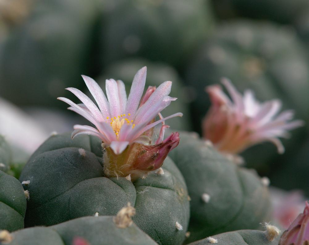 Lophophora williamsii, viele Köpfe mit Blüten