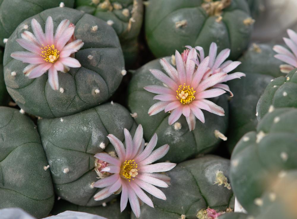 Lophophora - viele Köpfe und Blüten