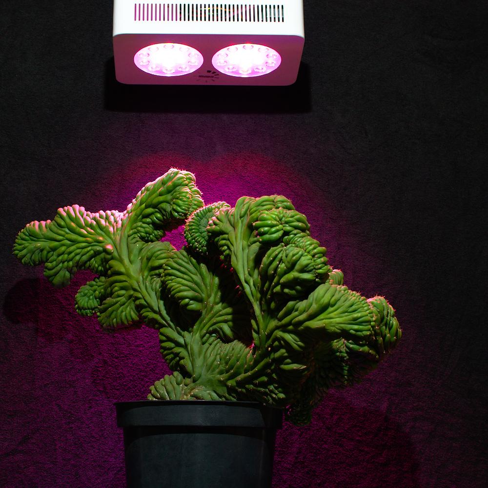 San Pedro Trichocereus pachanoi Neusius Pflanzenlicht