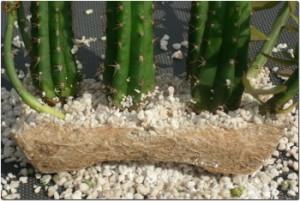 Stecklingsbewurzelung Trichocereus pachanoi und Pereskiopsis